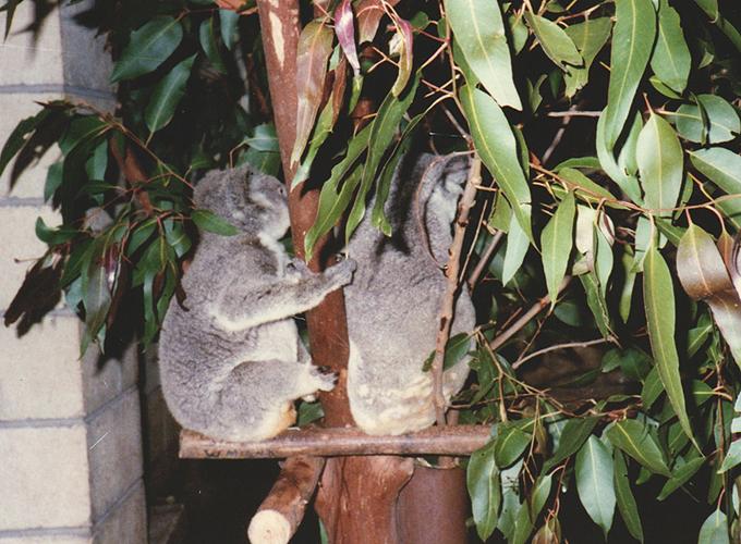 オーストラリア。Koala