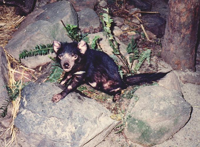 オーストラリア。Tasmanian devil