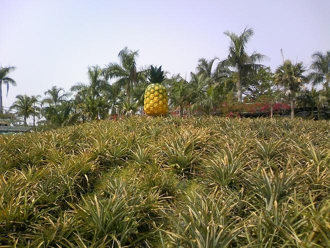 名護 ナゴパイナップルパーク園内のパイナップル畑