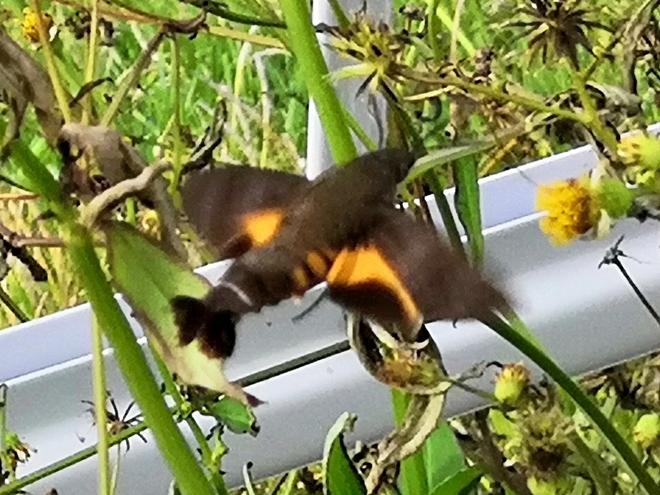 豊見城市 瀬長島ウミカジテラスでホバリングする鳥