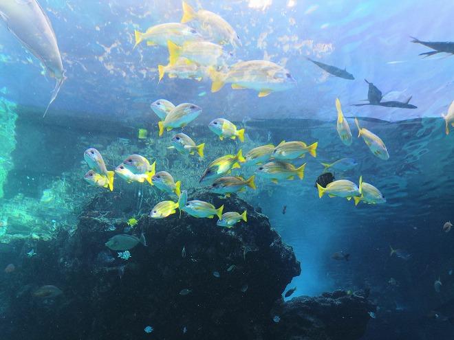 沖縄美ら海水族館「ユメウメイロ」