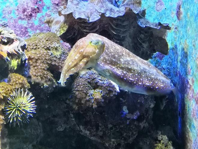 沖縄美ら海水族館「クブシミ」