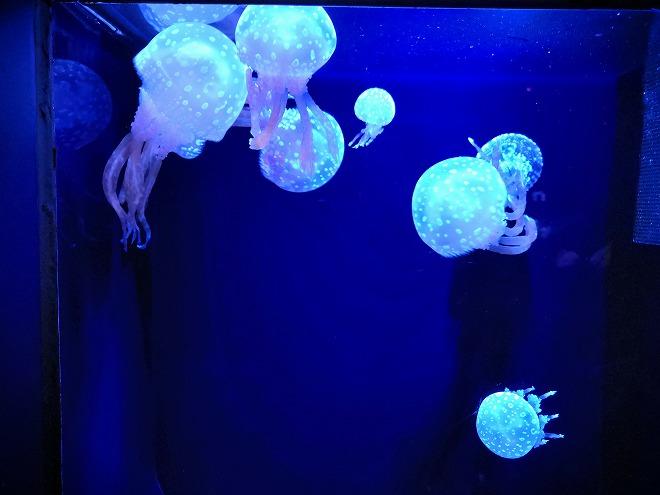 沖縄美ら海水族館「タコクラゲ」