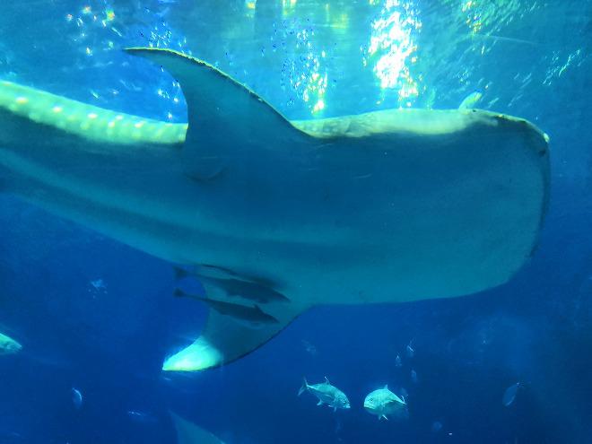 沖縄美ら海水族館「黒潮の海」のジンベエザメ