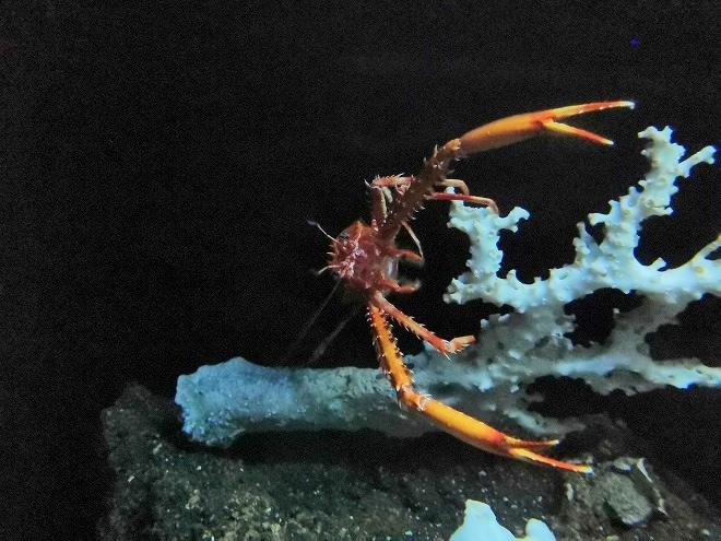 沖縄美ら海水族館「シマツノコシオリエビ」
