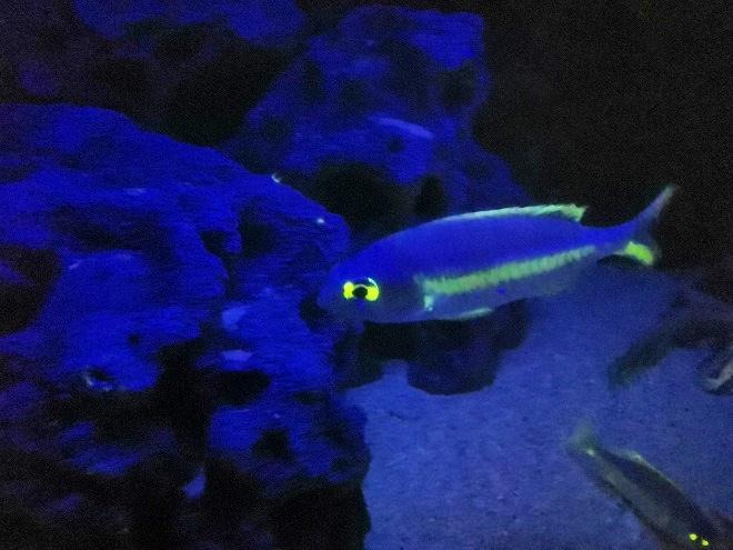 沖縄美ら海水族館「海のプラネタリウム」発光する魚