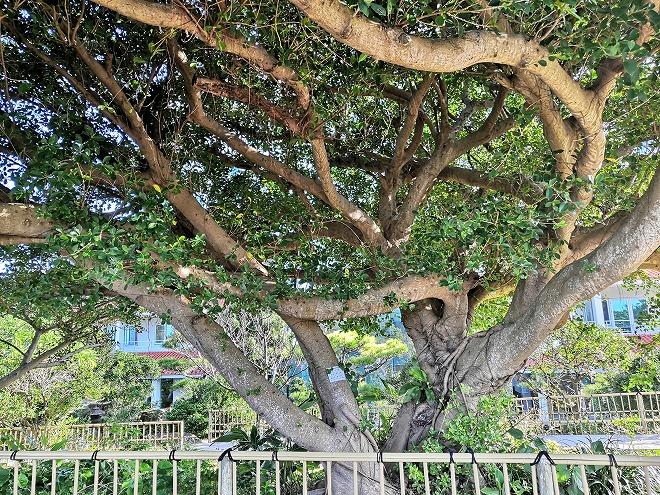 医療法人おもと会 大浜第一病院「かりゆしの庭」大きなガジュマル