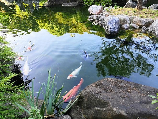 医療法人おもと会 大浜第一病院「かりゆしの庭」錦鯉の泳ぐ池