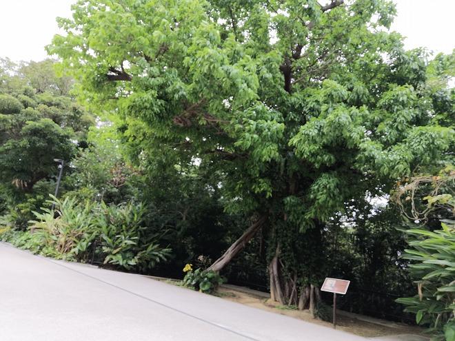 那覇 首里城「歴史を語るアカギの大木」