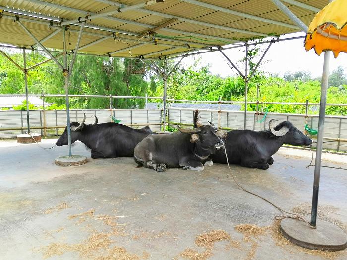 金武町 心ほっこりのんびり体験「水牛車」の水牛たち